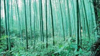 Bamboo Forest - Morning Light
