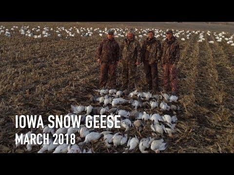 Iowa Snow Goose Hunting   March 2018