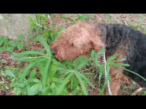 Pack Walk Daddy Duke Loving Bamboo With Airedale Terrier Puppy Puppies For Sale On July 16, 2018