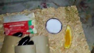 мадагаскарские тараканы : уход, разведение