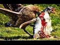 Skua vs Penguin: Predator and Prey -Failed to protect baby