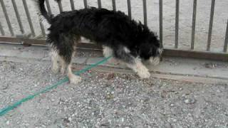 Adopted - Homer The Rescue Schnauzer Mix Saved From Southern Ca Kill Shelter