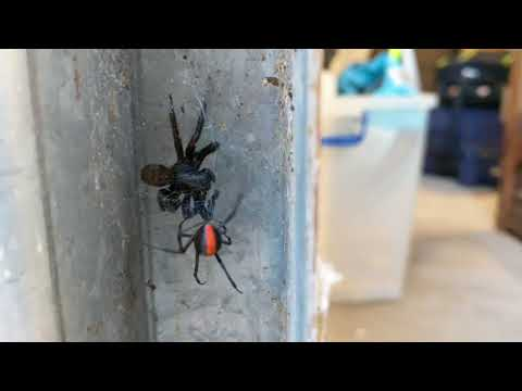 Red Back Spider vs Funnel Web Spider - Who will win?