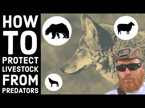 Do We Kill Coyotes? Managing Predators on the Ranch
