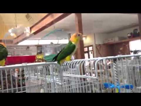 White Bellied Caique babies at Kookaburra Bird Shop, LLC
