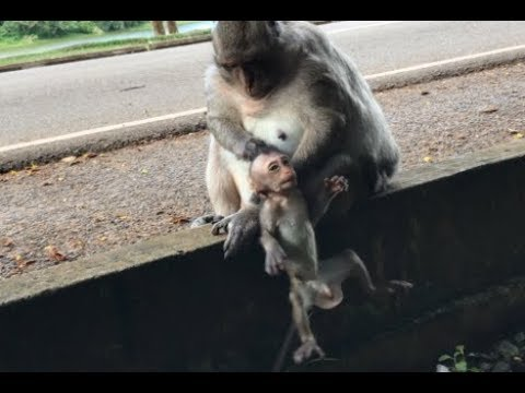 Monkey Mother Drop Her Baby, Poor Baby Monkey Life