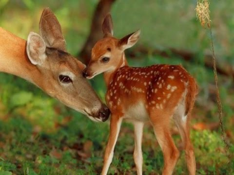 The Private Life of Deer - Amazing Nature Documentary