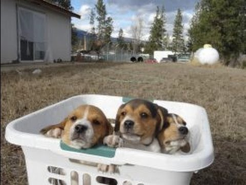 Tiny Miniature Pocket Beagle Cute Puppies For Sale Playing Bath Time