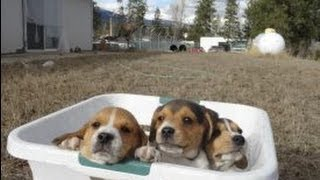 Tiny Miniature Pocket Beagle Cute Puppies For Sale Playing Bath Time And Shots Meet Breeder