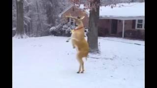 Merry Christmas Reindeer dancing Feliz Natal Renas dançando.