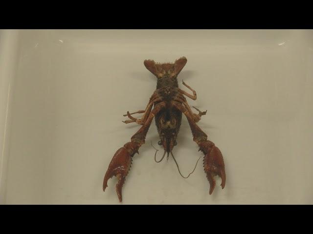Disección del cangrejo de río