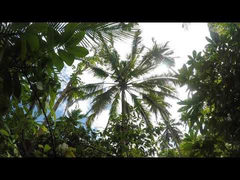 Coconut nectar harvesting