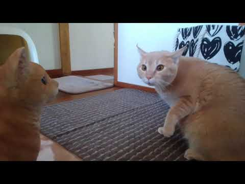 Cats who is too surprised to sit down Cinnamon