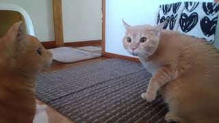 驚きすぎて腰を抜かす猫シナモン Cats Who Is Too Surprised To Sit Down Cinnamon