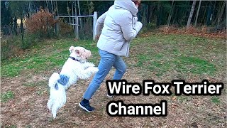 Can you keep up with the speed of a wire fox terrier?