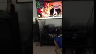 Boxer excited about the NY Giants clinching or the cats driving her nuts on Christmas Day