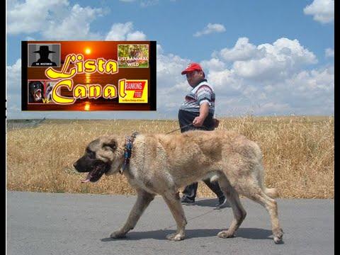 Kangal El Perro mas Grande del Mundo ,Características e Historia de la Raza Cuidados y más .