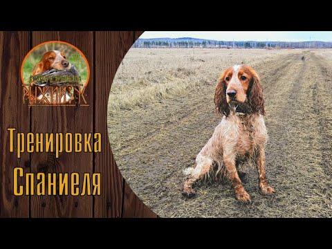 Русский Охотничий Спаниель. Натаска и тренировка.