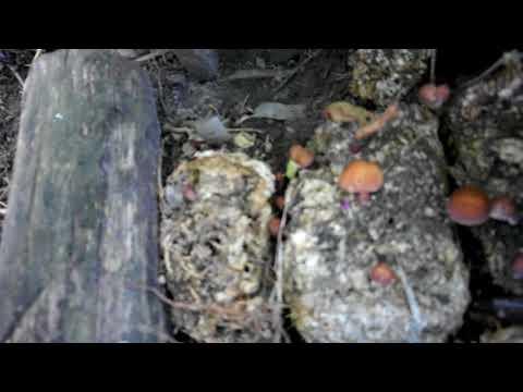грибы шиитаке. выращивание