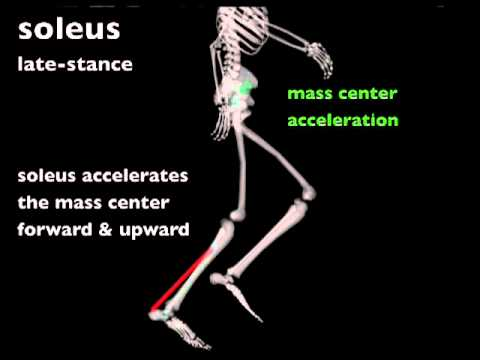 Biomechanics of Running: Muscle contributions to propulsion and support during late stance