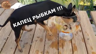 Собака кусает рыбу и роняет аквариум//Пруд своими руками