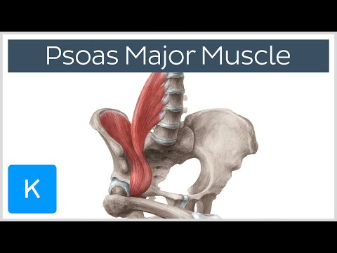Psoas Major Muscle Origins, Innervation & Action Anatomy | Kenhub