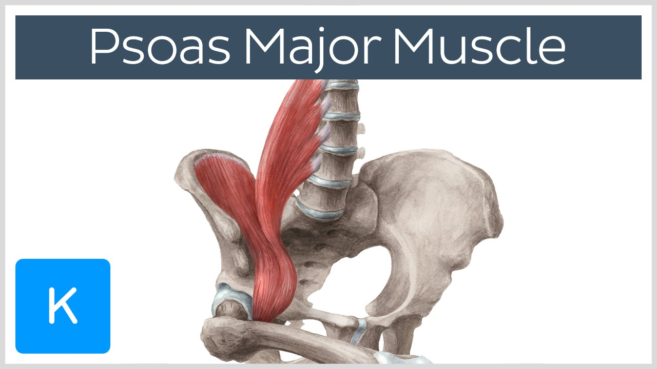 Psoas Major Muscle - Origins, Innervation & Action - Anatomy ...