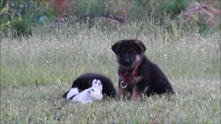 немецкая овчарка      щенки 1,5 месяца     мальчик и девочка     31072017 1