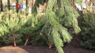 видео купить елку живую