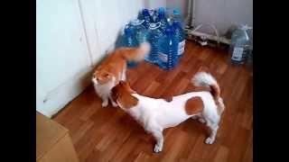 Кошка и собака. Кто в доме хозяин? Кошка - всегда хозяйка!(Рыжая кошка и рыжая собака уживаются под одной крышей. Активная собака