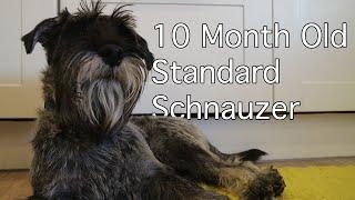 10 Month Old Standard Schnauzer | Burt Updates #9