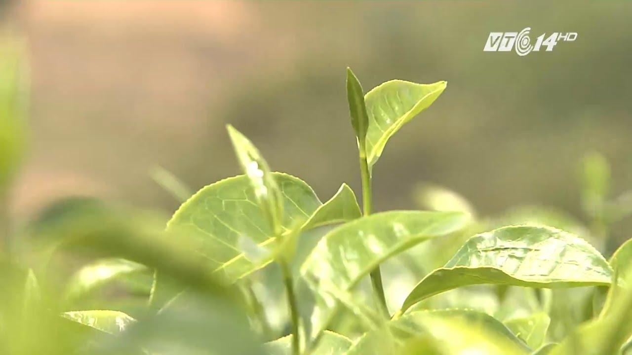 (VTC14)_ Chè xanh – Dược liệu của người làng quê