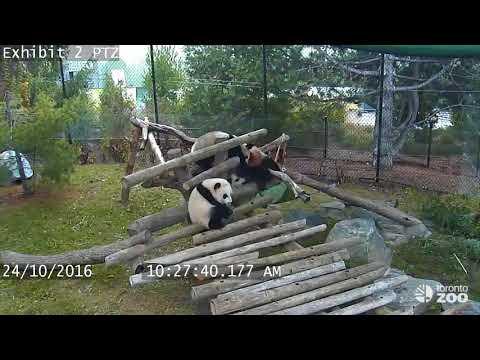 Giant Panda Cub Fall Compilation- Toronto Zoo