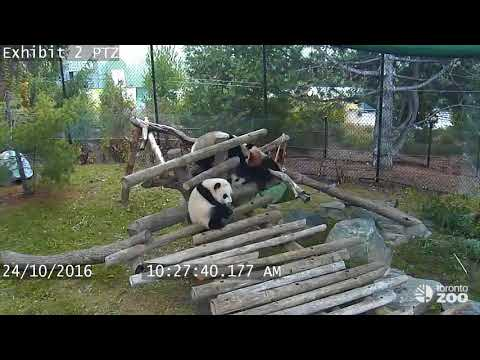 Giant Panda Cub Fall Compilation- Toronto Zoo