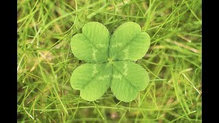 If you think four-leaf clovers are rare, this video proves you wrong!