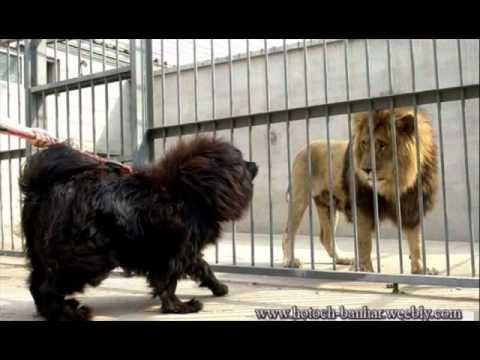 hqdefault Pitbull Dog Vs Lion
