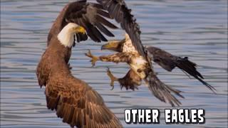 Eagle Attacks!  What Won