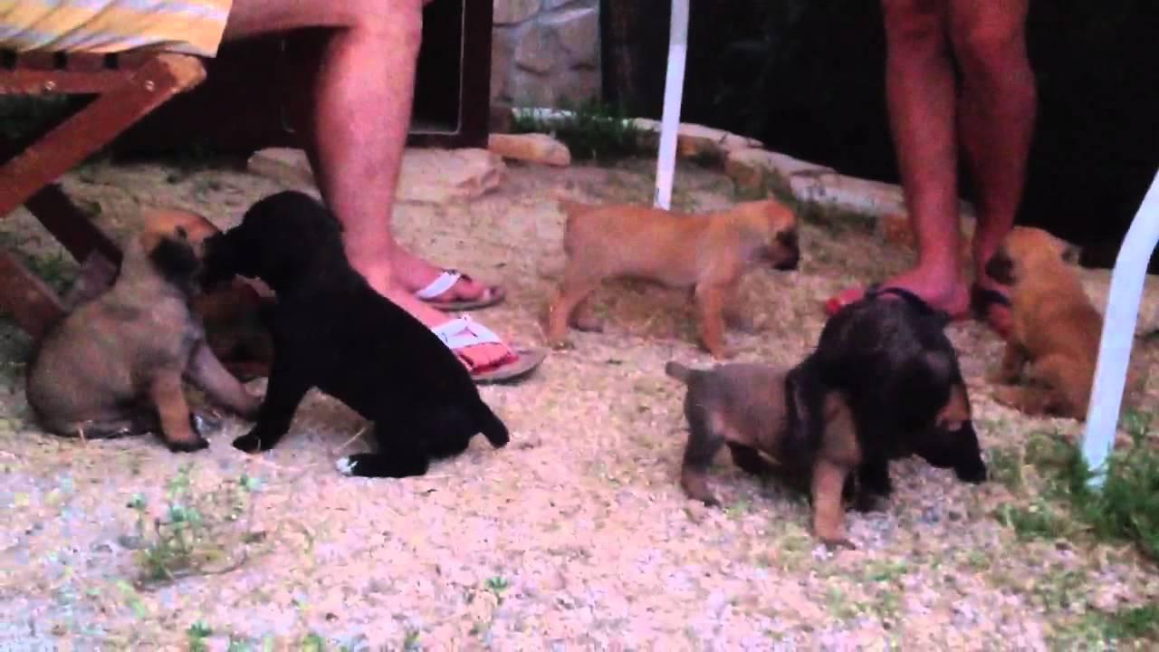 Cuccioli Di Cane Corso Youtube