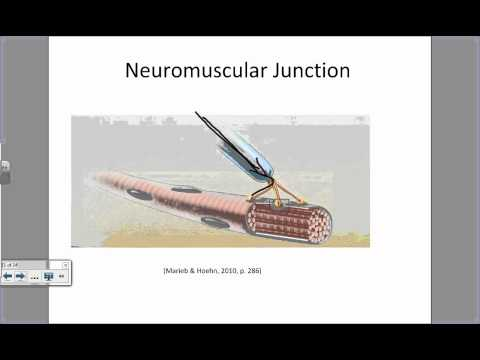 Physiology of a Muscle Contraction.wmv