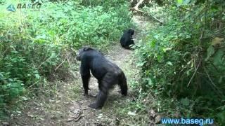 шимпанзе в Гомби стрим парке Танзания