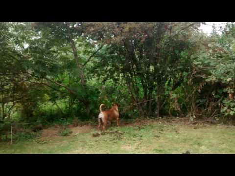Boerboels attack bear