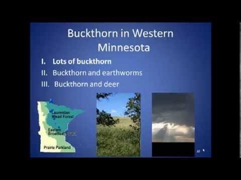 The European buckthorn invasion: insights (and incitement?) from west central  Minnesota
