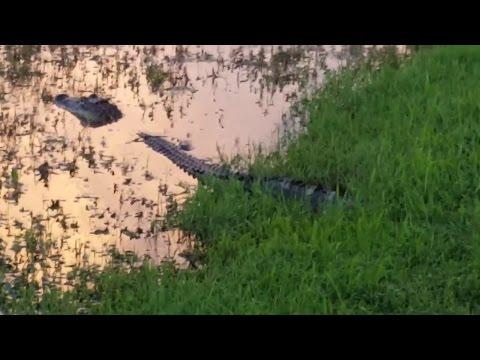 the-alligator-eyeballed-me!!