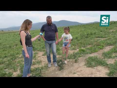 Одна з найбільших промислових плантацій лаванди України – в Перечині