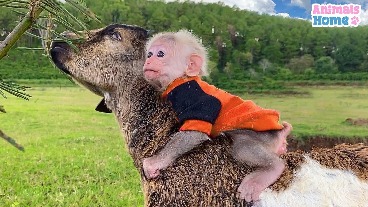 The process of making friends of BiBi monkey and goat