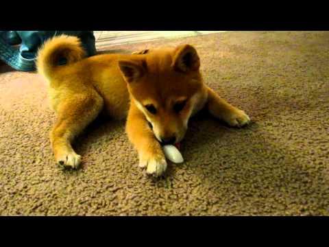 Shiba Inu - Mika eating ice