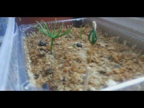 2 июл 2013. Выращивание кедра сибирского из семян. Можно пойти и более длительным путем: вырастить кедр из семени — орешка. По осени соберите спелые шишки и отберите самые добротные ядреные орешки. Далее соблюдайте следующий порядок: семена положите в чашку с водой,