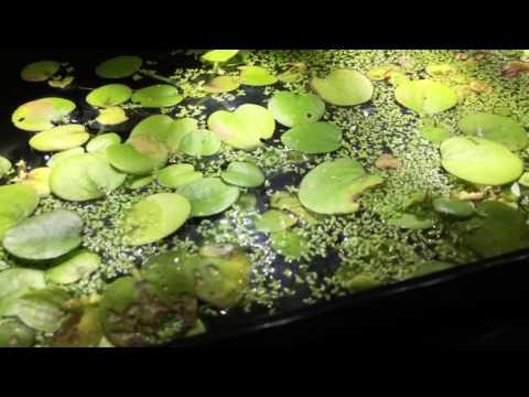 10 gallon African dwarf frog tank