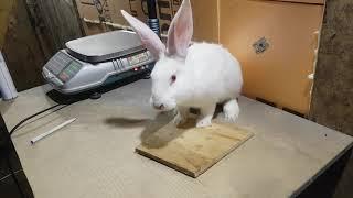 Пододерматит у кроликов.