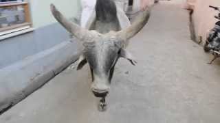 Holy Cow Try To Attack In Indian Village.Bhinmal,Jalore,Rajasthan, India.Gau Mata.Ox Cattle Cows.गाय